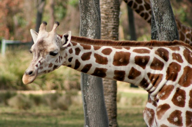 Walt Disney World Giraffe DAK 1172