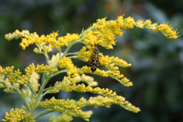 Autumn's Bounty ~ Goldenrod