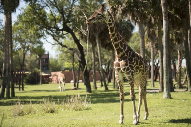 Animal Kingdom Lodge Giraffe 1