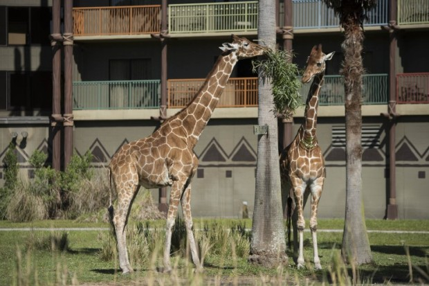 Animal Kingdom Lodge Giraffe 2